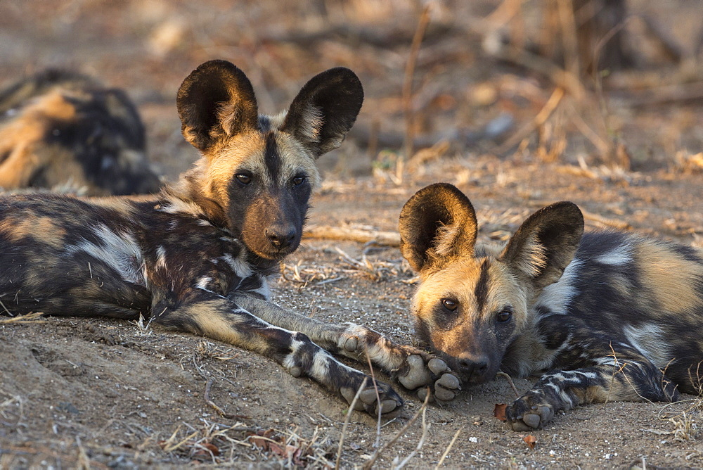 African wild dog (Lycaon pictus) at rest, Kruger National Park, South Africa, Africa