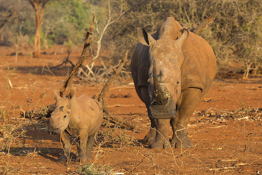White rhino (Ceratotherium simum) cow with calf, Zimanga private game reserve, KwaZulu-Natal, South Africa, Africa
