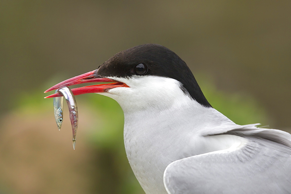 Arctic tern (Sterna paradisaea) with sandeel, Inner Farne, Northumberland, UK, July 2016