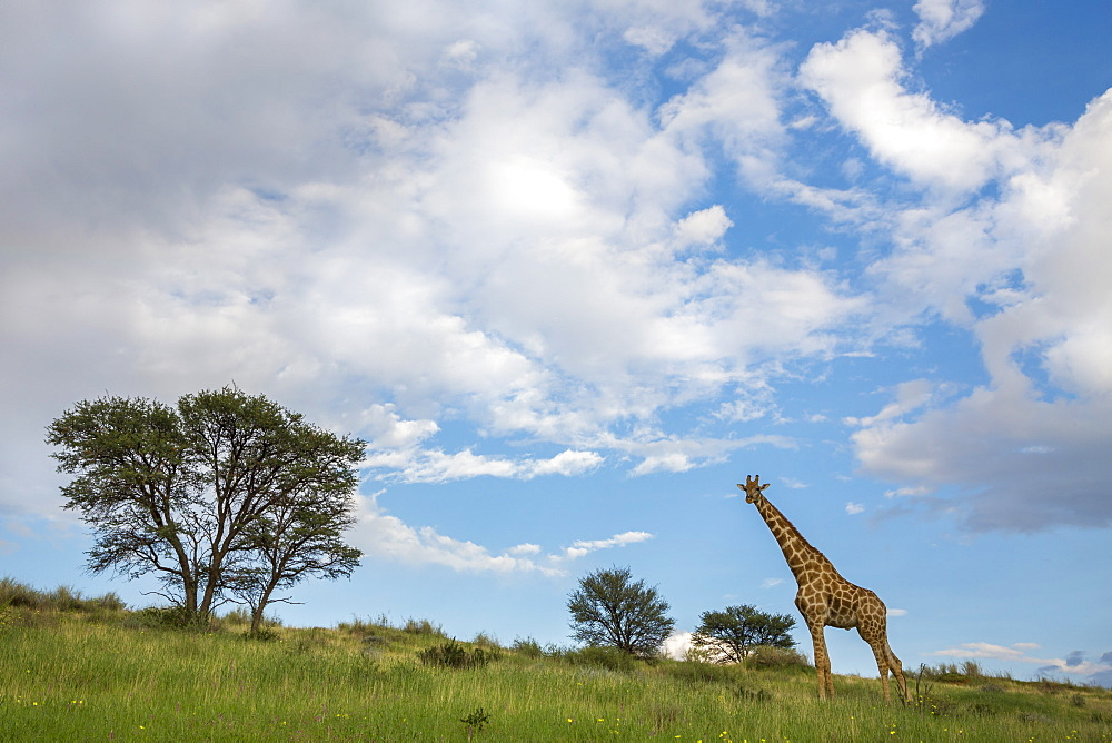 Giraffe (Giraffa camelopardalis), Kgalagadi transfrontier park, Northern Cape, South Africa, February 2017