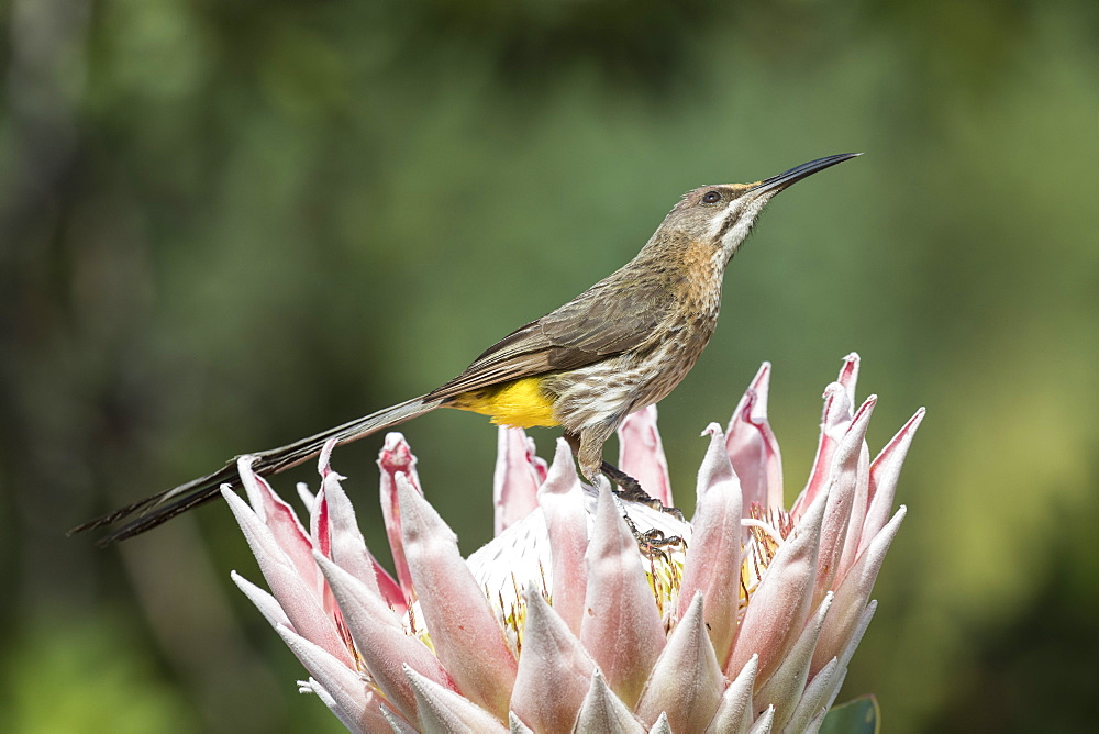 Cape sugarbird (Promerops cafer) on King Protea, Kirstenbosch Botanical Gardens, Cape Town, South Africa, September 2017