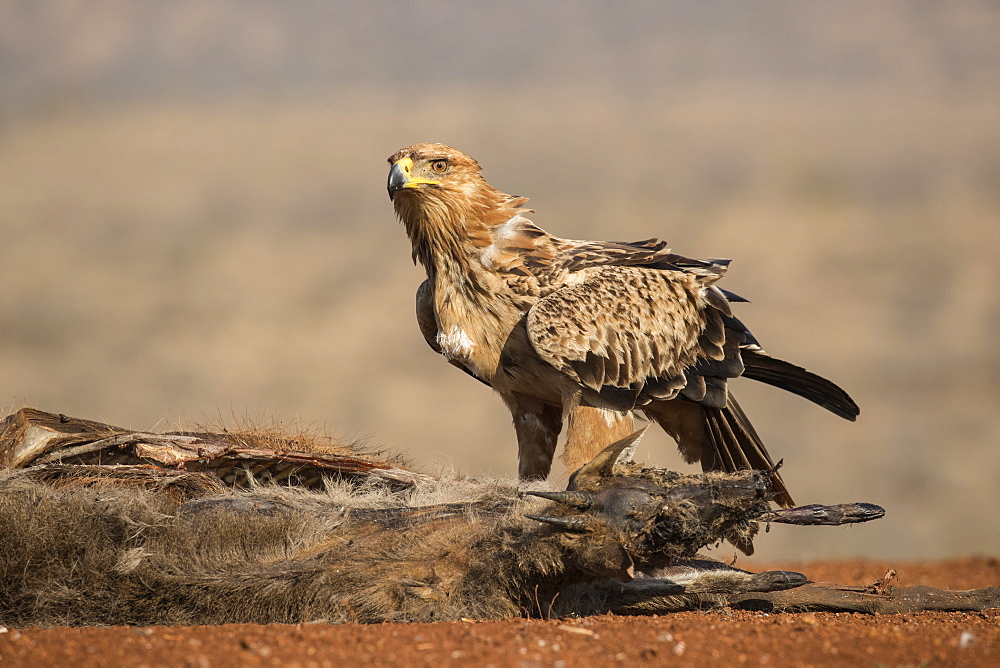Tawny eagle (Aquila rapax) scavenging, Zimanga Private Game Reserve, KwaZulu-Natal, South Africa, Africa