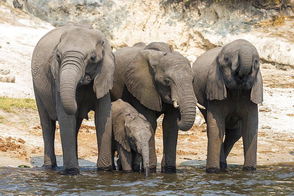 African elephant (Loxodonta africana) drinking at river, Chobe river, Botswana, September 2017