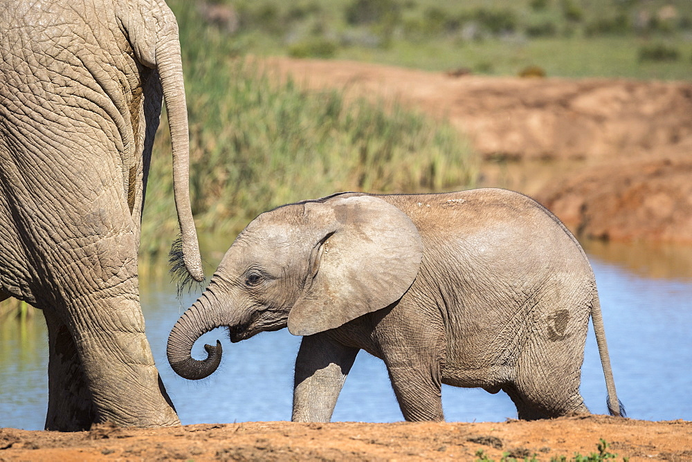 African elephant (Loxodonta africana) calf, Addo National Park, Eastern Cape, South Africa, Africa