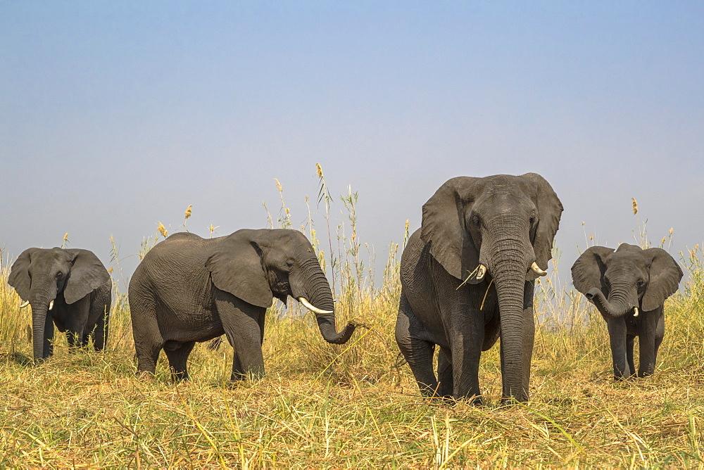 African elephants (Loxodonta africana), Chobe River, Botswana, Africa