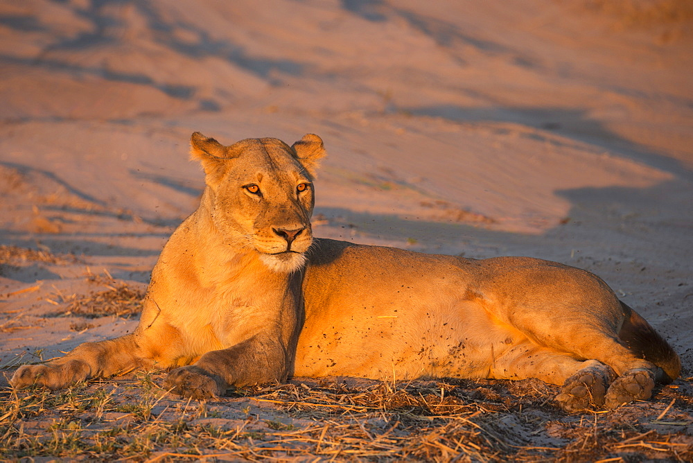 Lioness (Panthera leo), Chobe National Park, Botswana, Africa