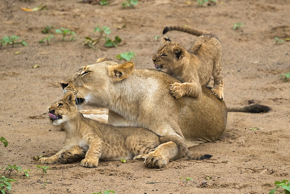 Lioness (Panthera leo) with cubs, Zimanga Game Reserve, KwaZulu-Natal, South Africa, Africa