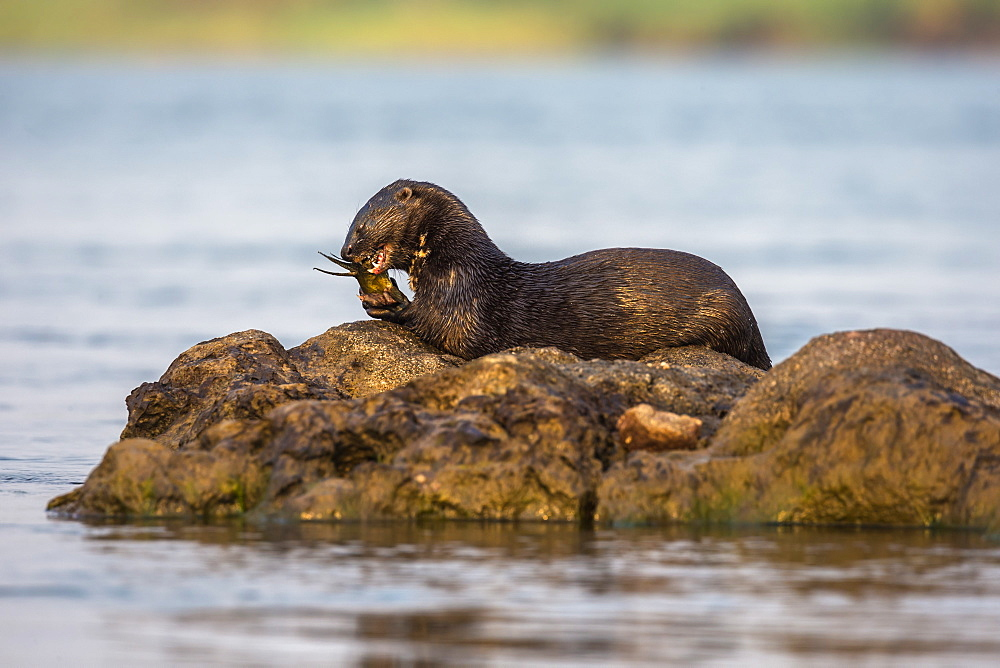 Spotted necked otter (Hydrictis maculicollis) eating leopard squeaker fish, Chobe River, Botswana, Africa