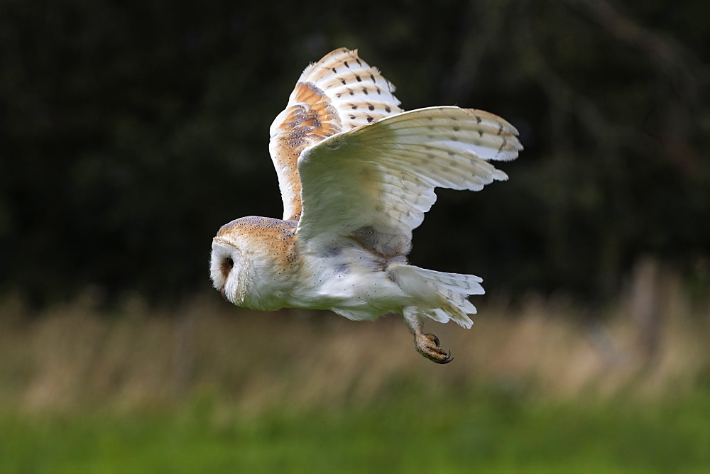 Barn owl (Tyto alba), captive, Cumbria, UK, August 2017
