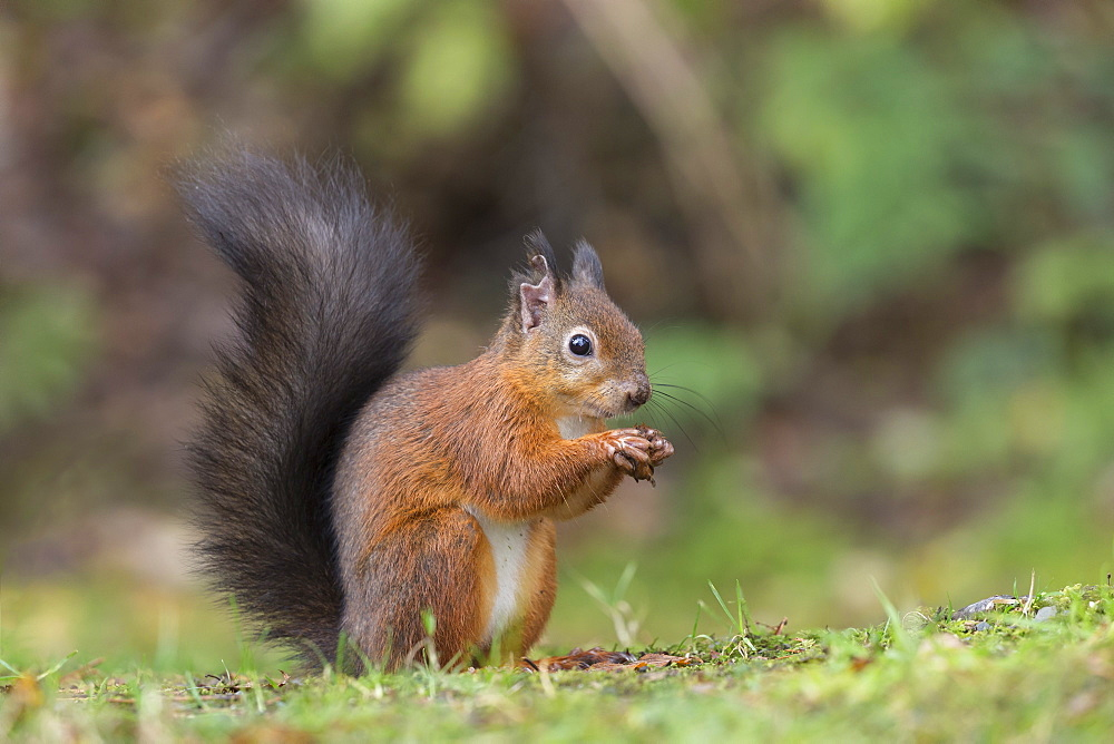 Red squirrel (Sciurus vulgaris), Eskrigg nature reserve, Lockerbie, Scotland, October 2017