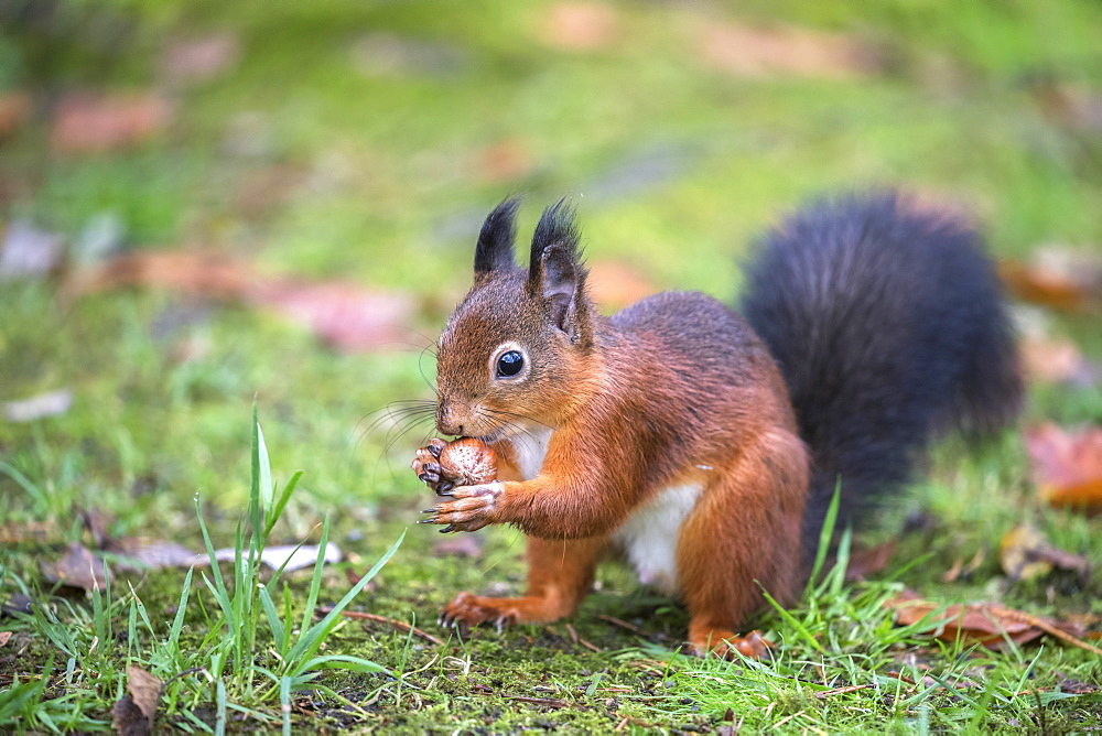 Red squirrel (Sciurus vulgaris), Eskrigg Nature Reserve, Lockerbie, Scotland, United Kingdom, Europe