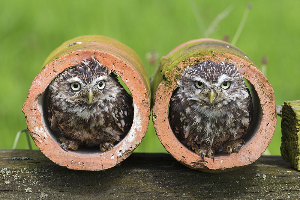 Little owls (Athene noctua), captive, Cumbria, UK, August 2017
