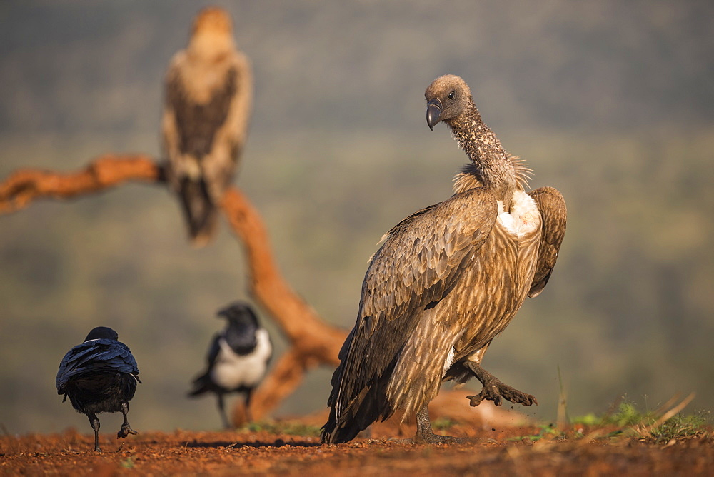Whitebacked vulture (Gyps africanus), Zimanga Private Game Reserve, KwaZulu-Natal, South Africa, Africa