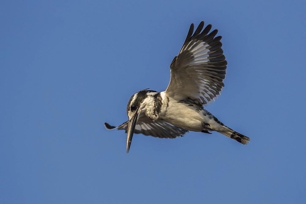 Pied kingfisher (Ceryle rudis) hovering, Chobe National Park, Botswana, Africa - 743-1607
