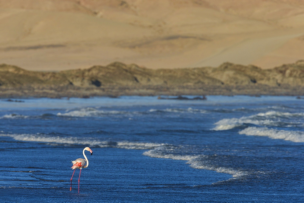Greater flamingo (Phoenicopterus roseus), Grosse Bucht, Luderitz peninsula, Namibia, Africa