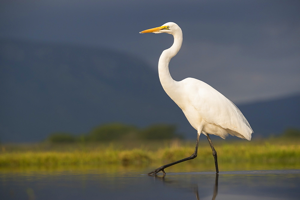 Great egret (Ardea alba), Zimanga Private Game Reserve, KwaZulu-Natal, South Africa, Africa - 743-1612