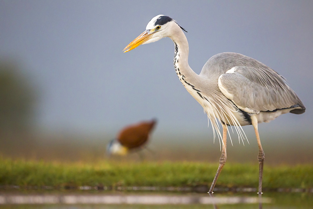 Grey heron (Ardea cinerea), Zimanga Private Game Reserve, KwaZulu-Natal, South Africa, Africa