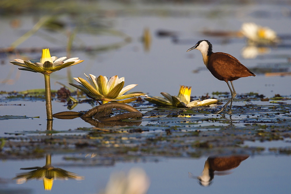 African jacana (Actophilornis africanus) among lilies, Chobe River, Botswana, Africa