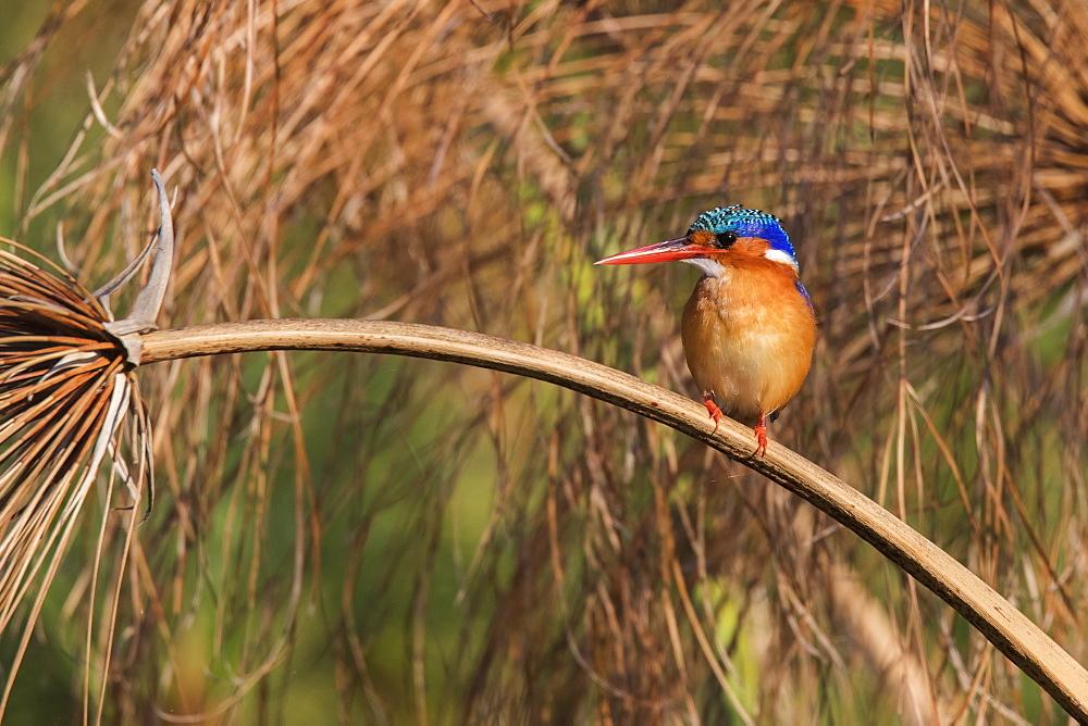 Malachite kingfisher (Alcedo cristata), Chobe River, Botswana, Africa - 743-1619