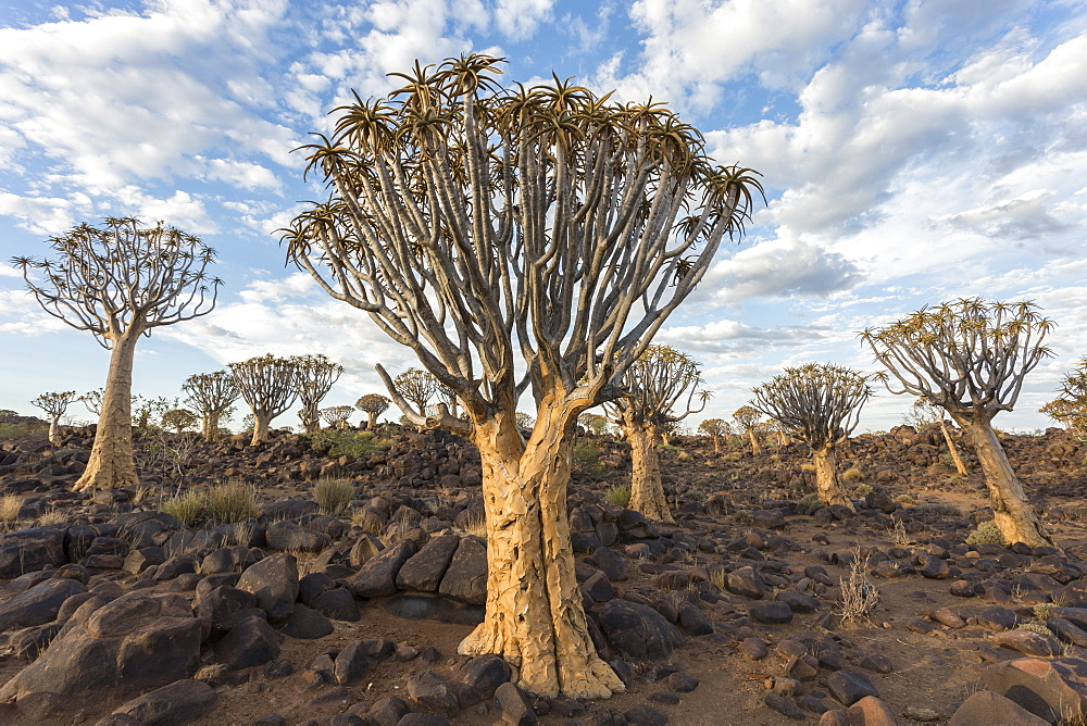 Quiver trees (kokerboom) (Aloidendron dichotomum) (formerly Aloe dichotoma), Quiver Tree Forest, Keetmanshoop, Namibia, Africa - 743-1620