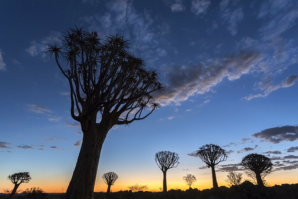 Quiver tree at sunset (kokerboom) (Aloidendron dichotomu) (formerly Aloe dichotoma), Quiver Tree Forest, Keetmanshoop, Namibia, Africa