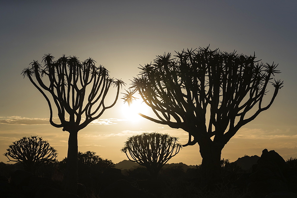 Quiver trees at sunrise (kokerboom) (Aloidendron dichotomum) (formerly Aloe dichotoma), Quiver Tree Forest, Keetmanshoop, Namibia, Africa - 743-1623