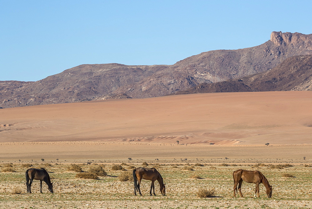 Wild horses, Aus, Namibia, Africa - 743-1625