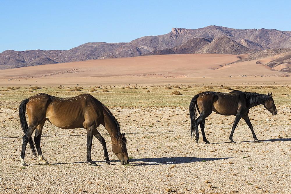Wild horses, Aus, Namibia, Africa - 743-1626