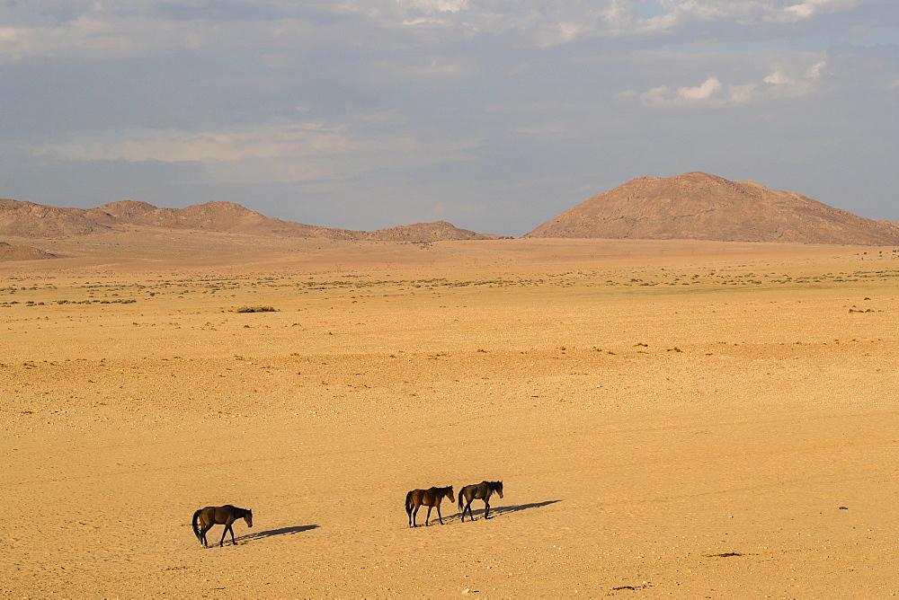 Wild horses, Aus, Namibia, Africa - 743-1627