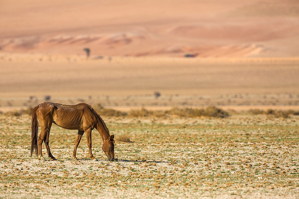 Wild horse, Aus, Namibia, Africa - 743-1628