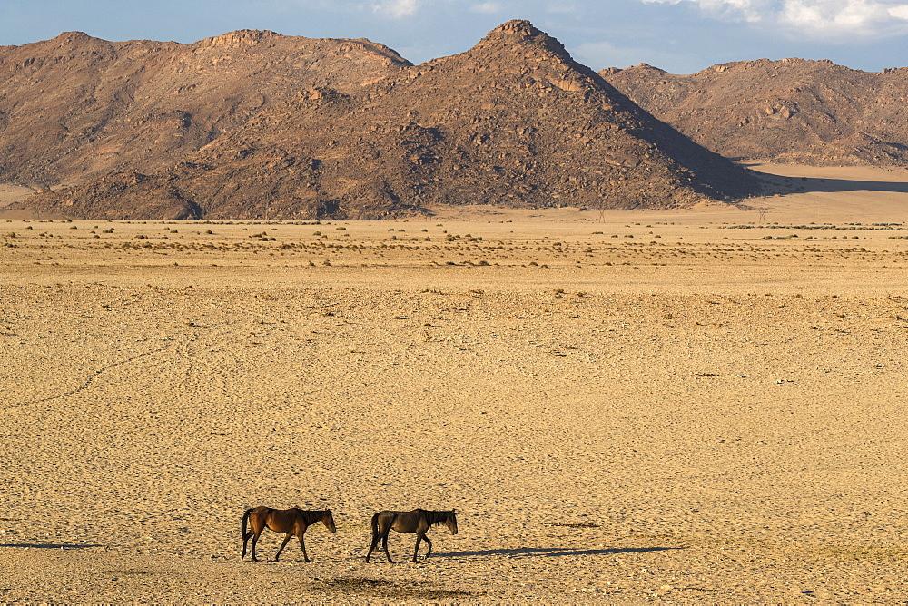 Wild horses, Aus, Namibia, Africa - 743-1629