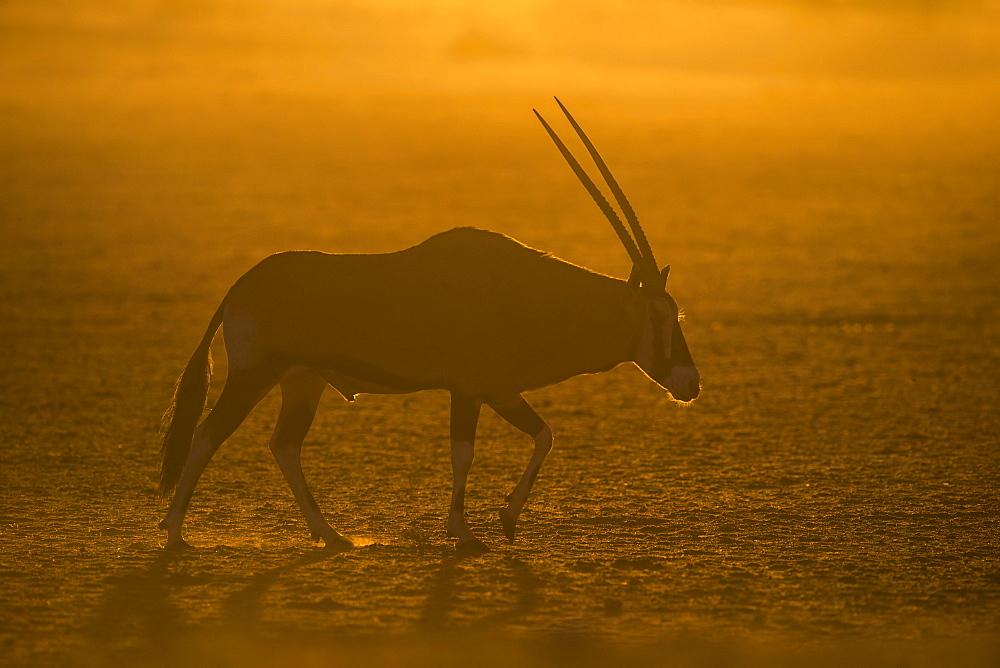 Gemsbok (Oryx gazella), Kgalagadi Transfrontier Park, South Africa, Africa - 743-1630