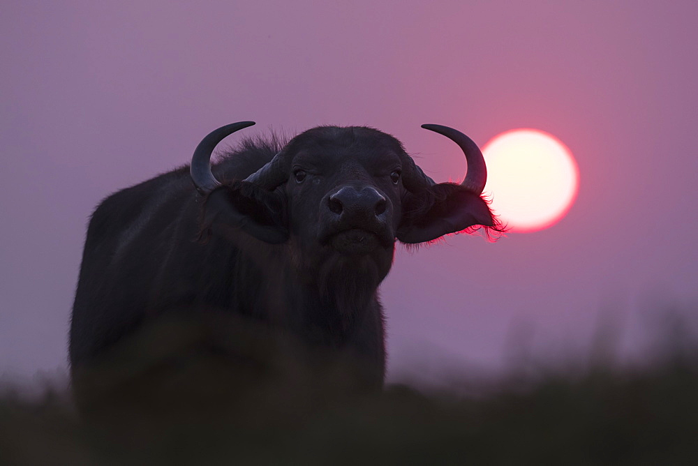Cape buffalo (Syncerus caffer) at sunset, Chobe National Park, Botswana, Africa - 743-1631