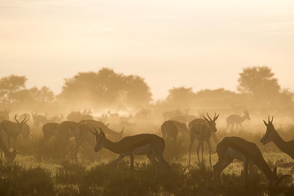 Springbok (Antidorcas marsupialis) herd, Kgalagadi Transfrontier Park, South Africa, Africa - 743-1632