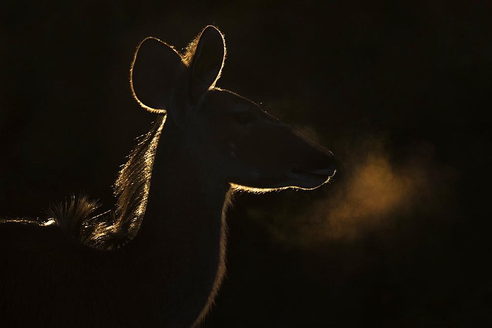 Greater kudu (Tragelaphus strepsiceros) female, Addo National Park, Eastern Cape, South Africa, Africa