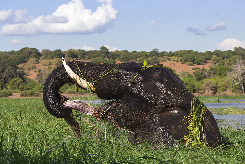 Elephant (Loxodonta africana) feeding in Chobe River, Chobe National Park, Botswana, Africa - 743-1635