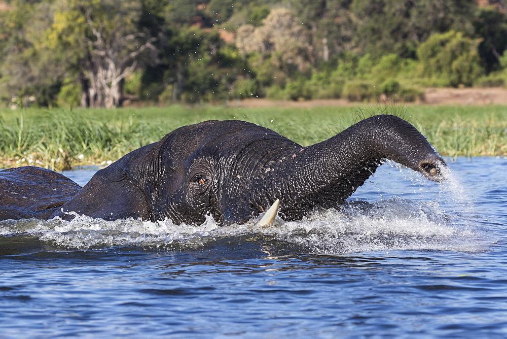 Elephant (Loxodonta africana) in Chobe River, Chobe National Park, Botswana, Africa - 743-1638