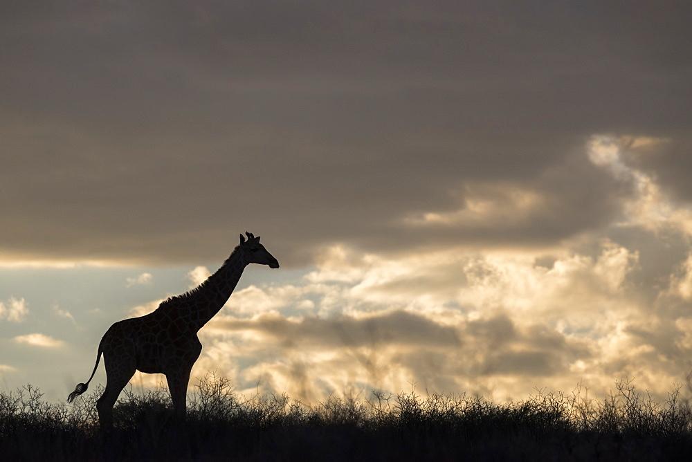 Giraffe (Giraffa camelopardalis), Kgalagadi Transfrontier Park, South Africa, Africa - 743-1639