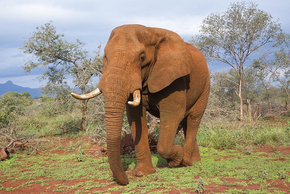 Elephant (Loxodonta africana) bull, Zimanga Private Game Reserve, KwaZulu-Natal, South Africa, Africa - 743-1641