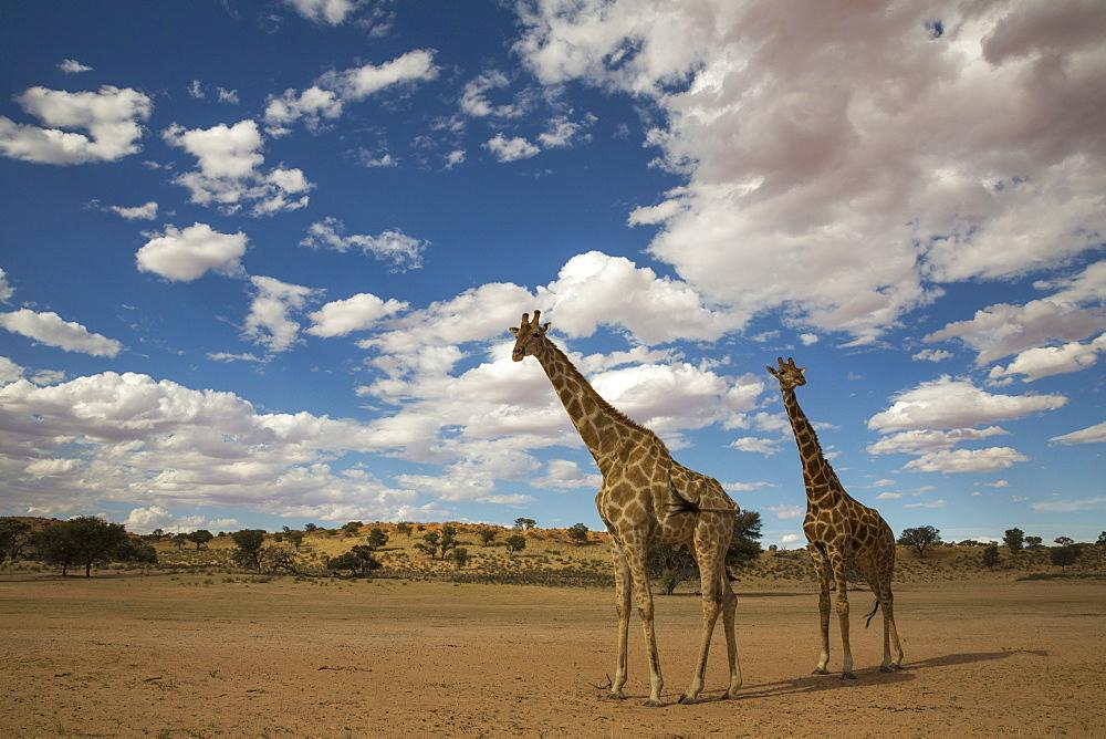 Giraffes (Giraffa camelopardalis), Kgalagadi Transfrontier Park, South Africa, Africa - 743-1642