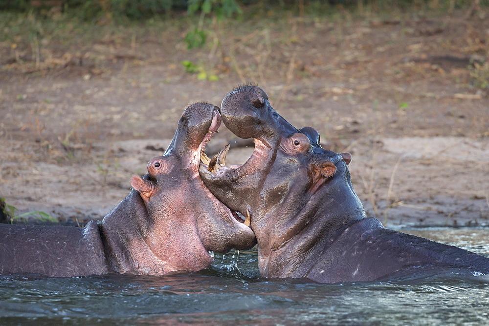 Hippos (Hippopotamus amphibius) playfighting, Chobe River, Botswana, Africa - 743-1643