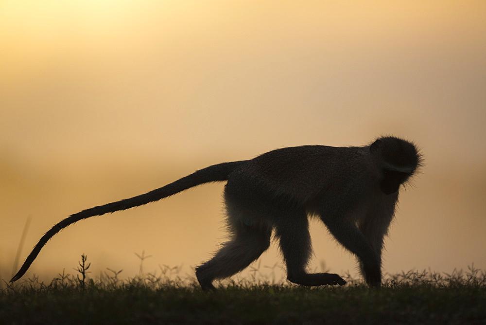 Vervet monkey (Chlorocebus pygerythrus), Zimanga Game Reserve, KwaZulu-Natal, South Africa, Africa