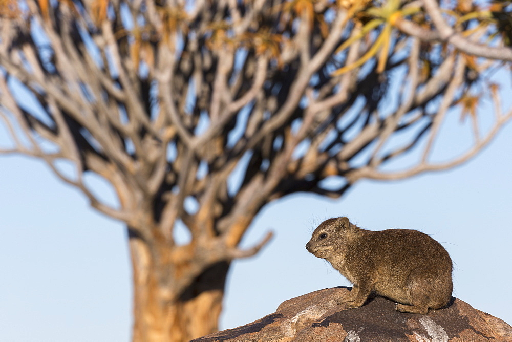 Rock hyrax (Procavia capensis), Quiver Tree Forest, Keetmanshoop, Namibia, Africa - 743-1649