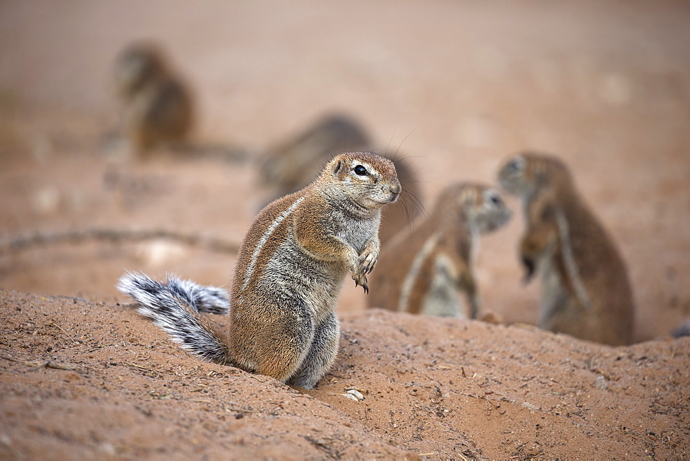Ground squirrels (Xerus inauris) at den, Kgalagadi Transfrontier Park, Northern Cape, South Africa, Africa