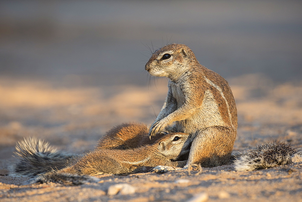 Ground squirrels (Xerus inauris) suckling, Kgalagadi Transfrontier Park, Northern Cape, South Africa, Africa