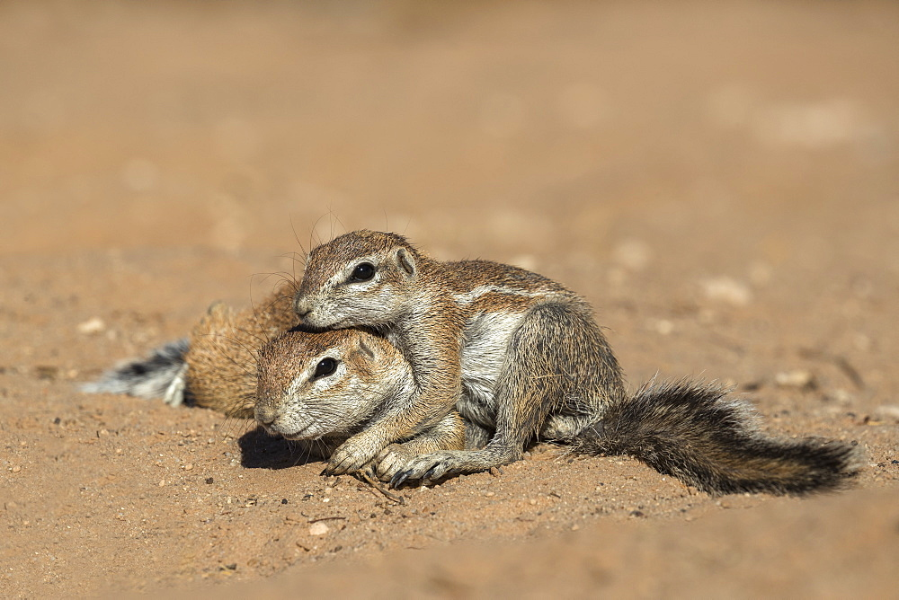 Ground squirrels (Xerus inauris), Kgalagadi Transfrontier Park, Northern Cape, South Africa, Africa - 743-1652