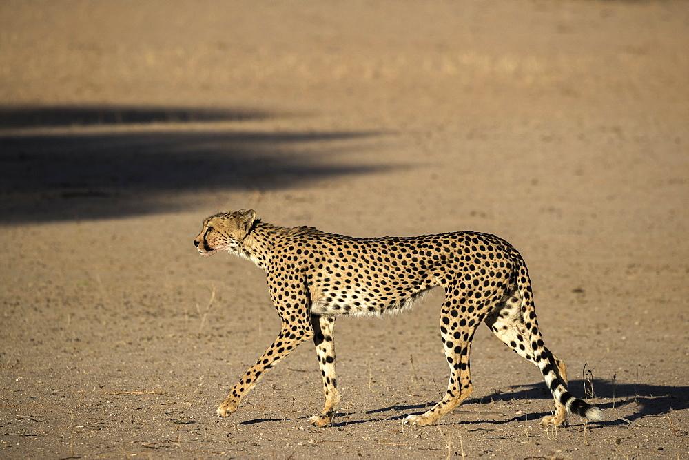 Cheetah (Acinonyx jubatus), Kgalagadi Transfrontier Park, South Africa, Africa - 743-1660