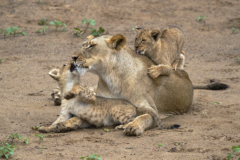 Lioness (Panthera leo) playing and bonding with cubs, Zimanga Private Game Reserve, KwaZulu-Natal, South Africa, Africa