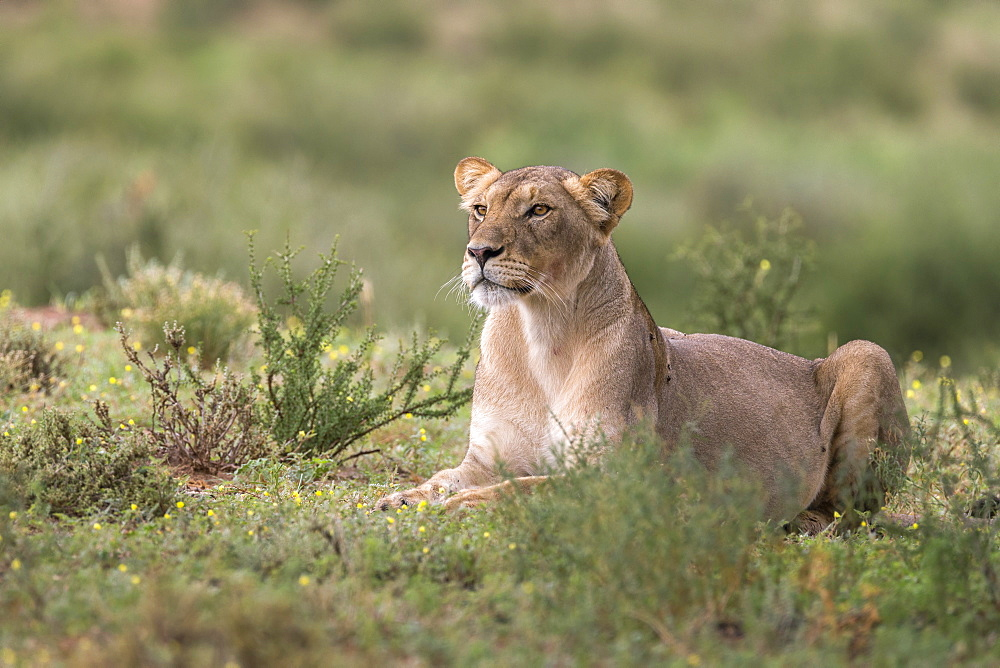 Lioness (Panthera leo) watching prey, Kgalagadi Transfrontier Park, South Africa, Africa - 743-1667