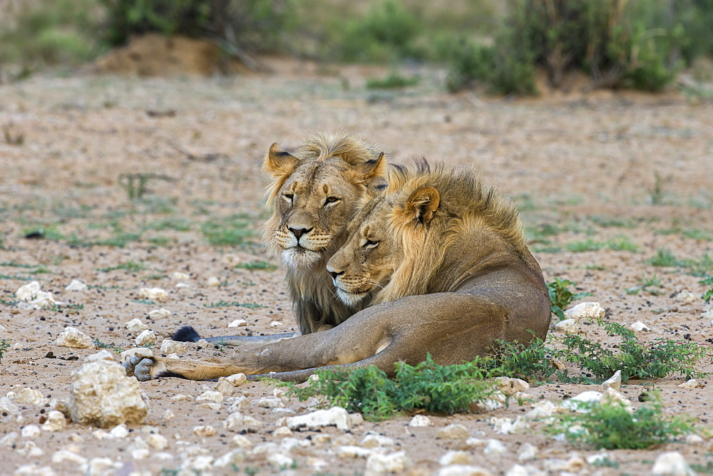 Lion (Panthera leo) brothers, Kgalagadi Transfrontier Park, South Africa, Africa - 743-1670
